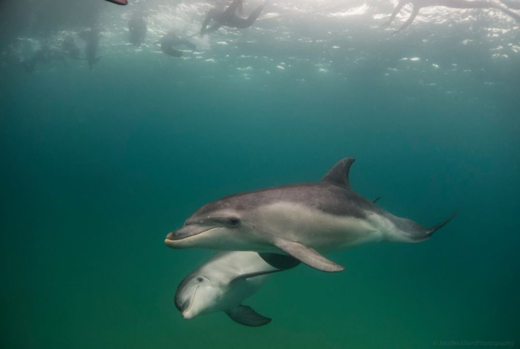 Polperro Dolphin Swims