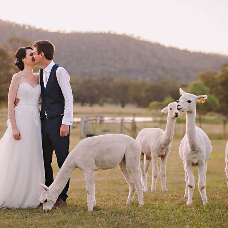 A wedding couple kissing on the farmland surrounded by alpacas
