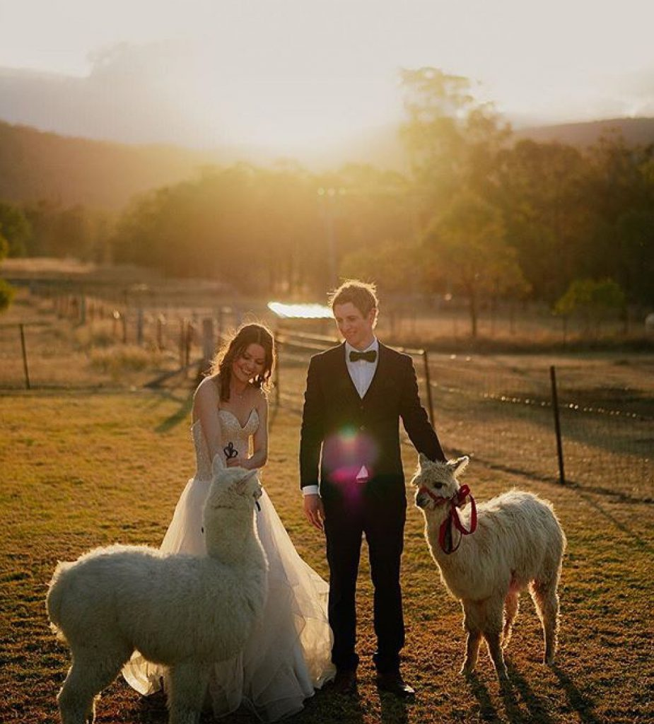 The bride and groom are holding alpacas